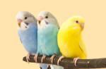 Papugi małe