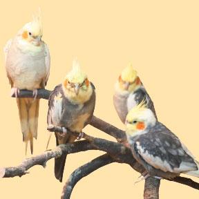 Papugi średnie